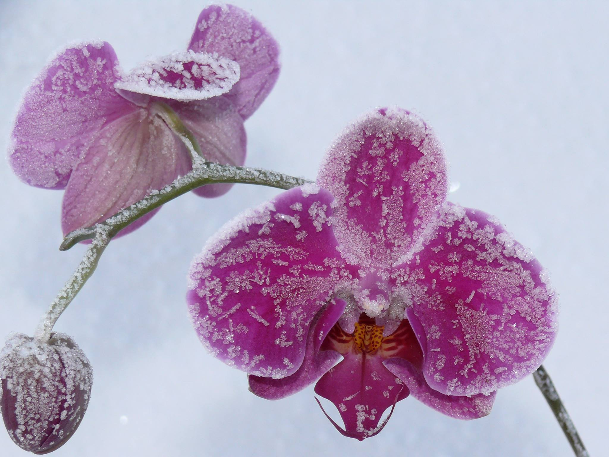 Phalaenopsis_in_ice.jpg