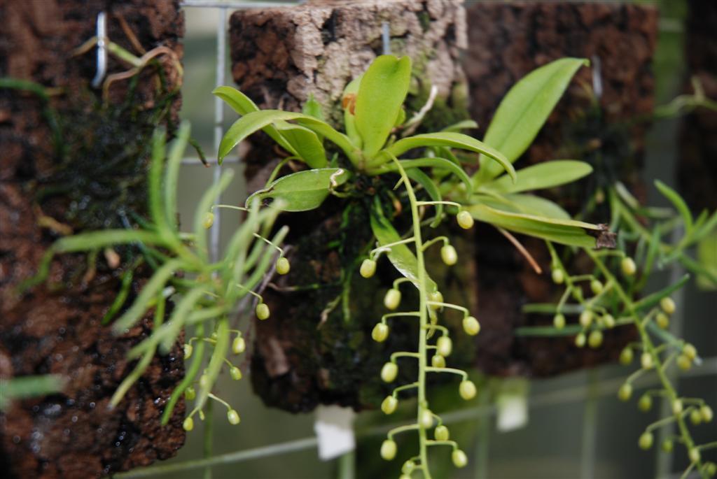 kuvia kasvihuoneesta currlin orchideen. Black Bedroom Furniture Sets. Home Design Ideas