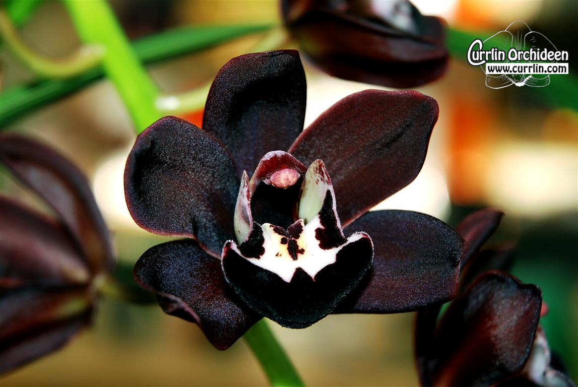 cymbidium kiwi midnight 39 geyserland 39 currlin orchideen. Black Bedroom Furniture Sets. Home Design Ideas