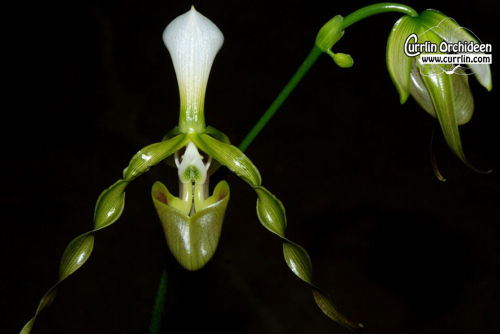 Paphiopedilum Dianthum Currlin Orchideen