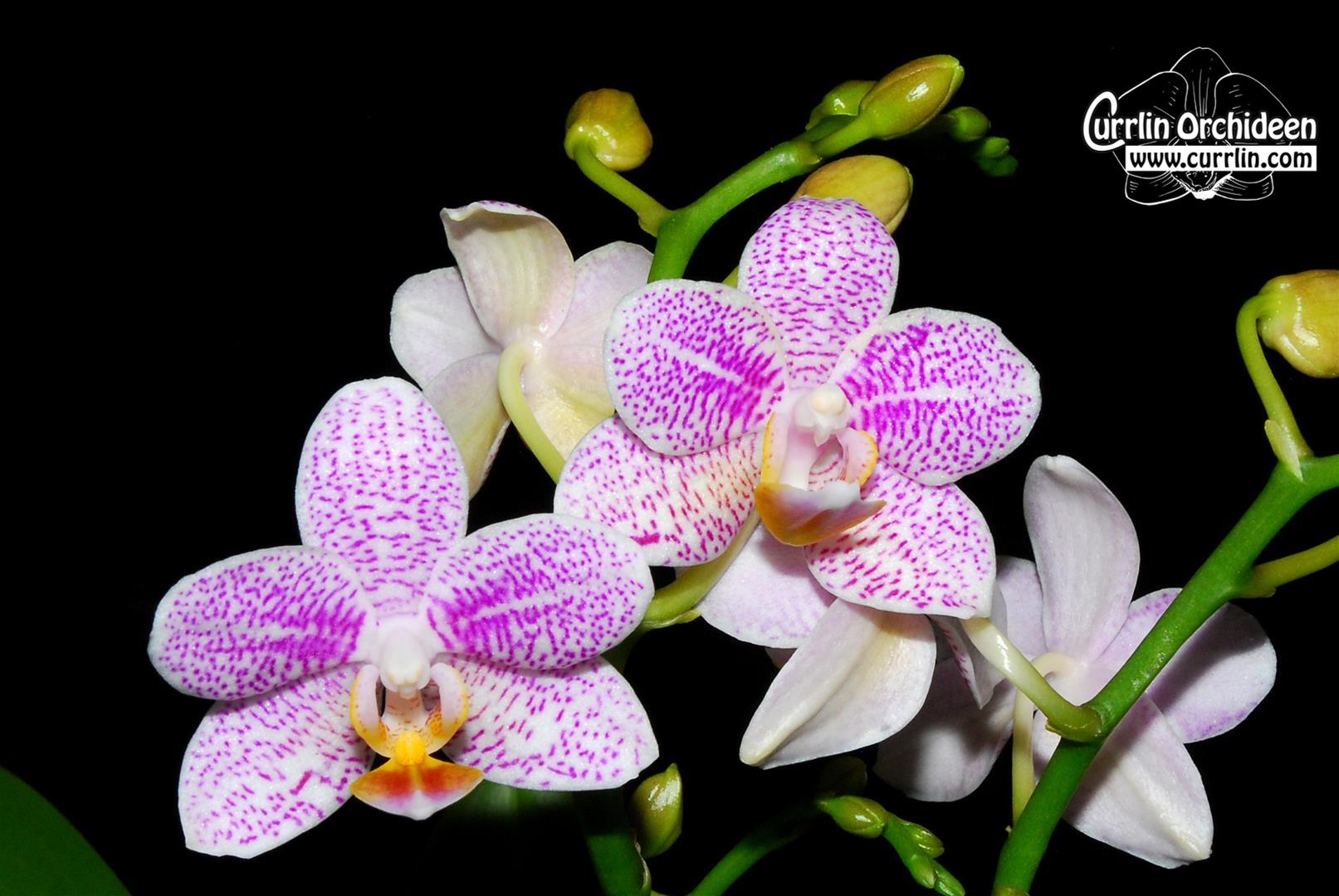 phalaenopsis pink moondust currlin orchideen. Black Bedroom Furniture Sets. Home Design Ideas
