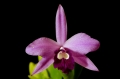 cattleya_rubin_x_sincorana_currlin_orchideen