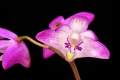 dendrobium_kingianum_currlin_orchideen_751059083