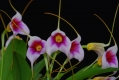 masdevallia_exquisita_currlin_orchideen