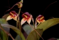 masdevallia_nidifica_currlin_orchideen