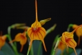masdevallia_orange_stripe_currlin_orchideen