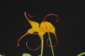 masdevallia_triangularis_currlin_orchideen