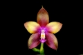 phal__dragon_tree_eagle_currlin_orchideen