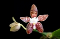 phalaenopsis_double_eagle_currlin_orchideen