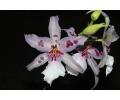 Beallara Peggy Ruth Carpenter (Currlin Orchideen)