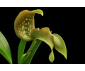 Bulbophyllum grandiflorum (Currlin Orchideen)