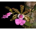 Cattleya aclandiae (Currlin Orchideen)