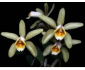Cattleya forbesii (Currlin Orchideen)