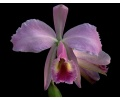 Cattleya warneri 4cdab3ccd9a44