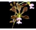 Encyclia selligera (Currlin Orchideen)