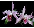 Cattleya lobata (Currlin Orchideen)