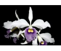 Cattleya Eximia (Currlin Orchideen)