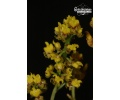 Oncidium pumilum (Currlin Orchideen)