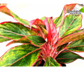 Aglaonema Crete - Currlin Orchideen