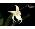 Angraecum magdalenae (Currlin Orchideen)