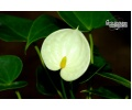 Anthurium Hybride 'Lemon' (Currlin Orchideen)