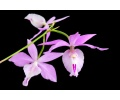 barkeria kathy spike currlin orchideen