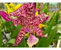 Beallara Marfitch von Currlin Orchideen