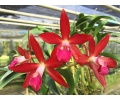 brassocatanthe jairak fire star currlin orchideen