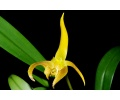 Bulbophyllum lobbii (Currlin Orchideen)