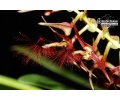 bulbophyllum barbigerum currlin orchideen