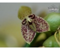 Bulbophyllum cambodianum - Currlin Orchideen
