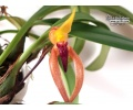 bulbophyllum papulosum currlin orchideen