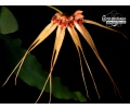 Bulbophyllum pecten-veneris (Currlin Orchideen)