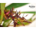 Bulbophyllum tremulum (Currlin Orchideen)
