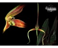 Bulbophyllum unitubum (Currlin Orchideen)