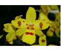 Cambria Irish Mist von Currlin Orchideen