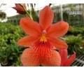 cambria nelly isler orange currlin orchideen