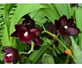 Catamodes Black Magic (Currlin Orchideen)