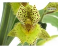 Catasetum Doris's Choice
