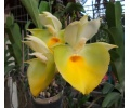 Catasetum pileatum 'Yellow Giant' (Currlin Orchideen)