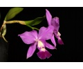 cattleya blue pearl currlin orchideen