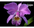 cattleya gaskelliana currlin orchideen