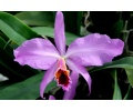Cattleya percivaliana 'Winter' (Currlin Orchideen)