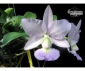 Cattleya walkeriana var. coerulea (Currlin Orchideen)
