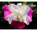 Cattleya White Spark - Currlin Orchideen