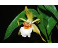 coelogyne lawrenceana currlin orchideen