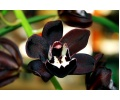 Cymbidium Kiwi Midnight 'Geyserland' (Currlin Orchideen)