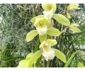 cymbidium nagalex currlin orchideen