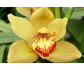 Cymbidium Shining Flor (Currlin Orchideen)