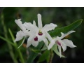 Dendrobium Cassiope (Currlin Orchideen)